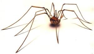 daddy-long-legs-spider