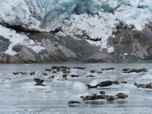 Ice chunks falling off providing a resting place for harbor seals